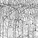 dendrites - neurons.jpg